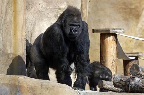 13 Atlanta zoo gorillas are COVID-19 positives
